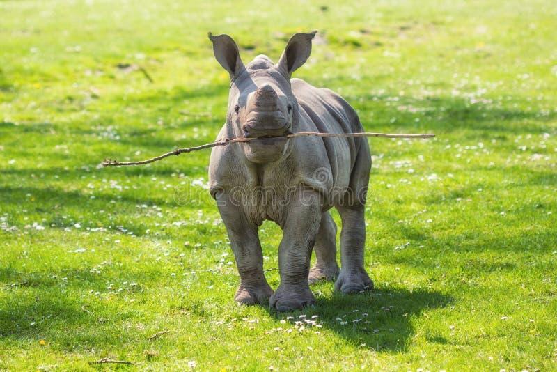 Becerro divertido del rinoceronte blanco (simum del Ceratotherium) que juega búsqueda fotos de archivo libres de regalías
