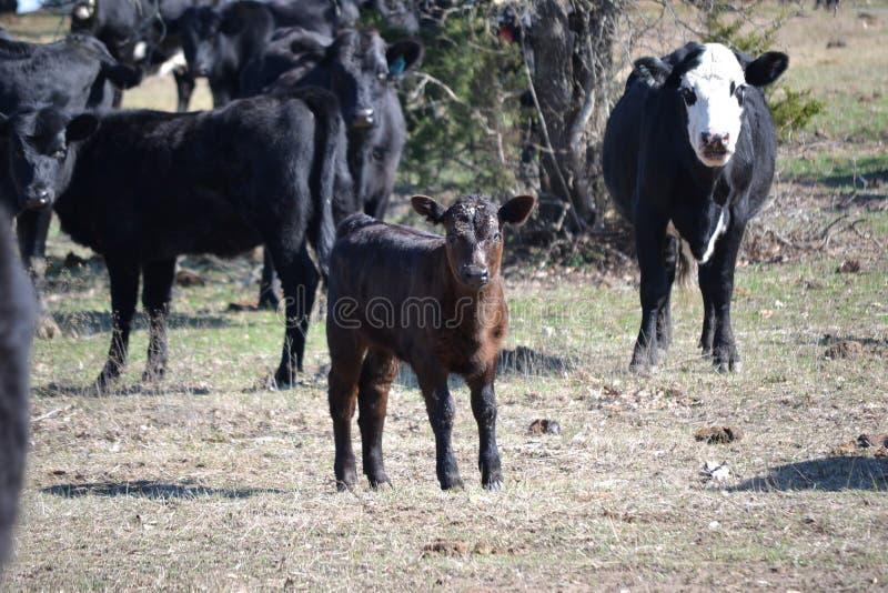 Becerro negro de la carne de vaca en el pasto imagenes de archivo