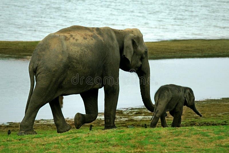 Becerro principal del elefante adulto de la vaca fotografía de archivo