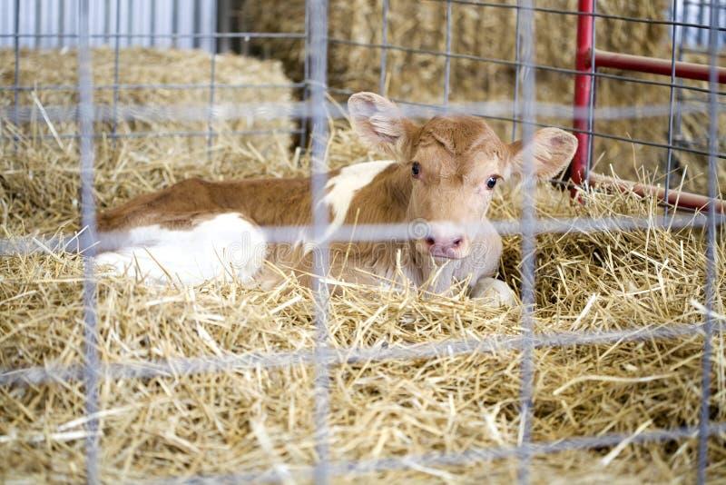 Becerro recién nacido imagen de archivo libre de regalías