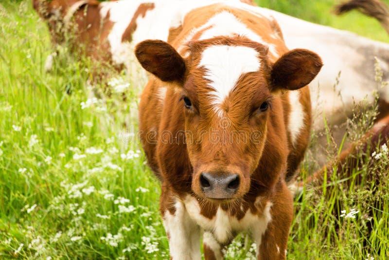 becerro Un pequeño cow& x27; cachorro de s foto de archivo