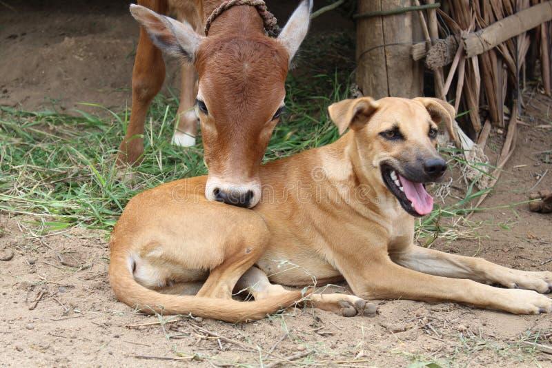 Becerro y perro fotografía de archivo