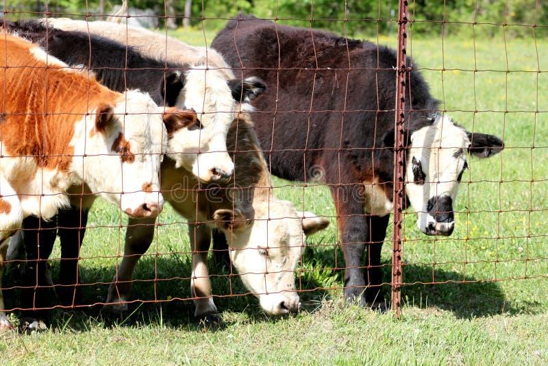 Becerros que miran hacia fuera la cerca foto de archivo