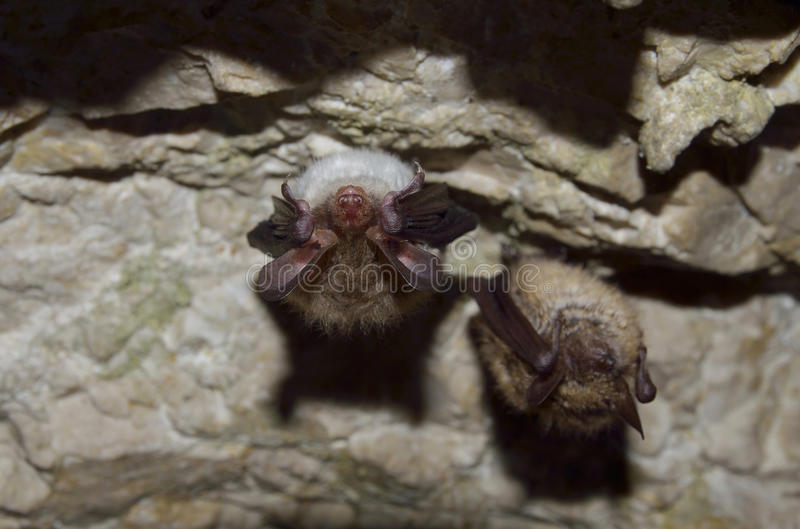 Bechstein's bat and Greater mouse-eared bat royalty free stock photography