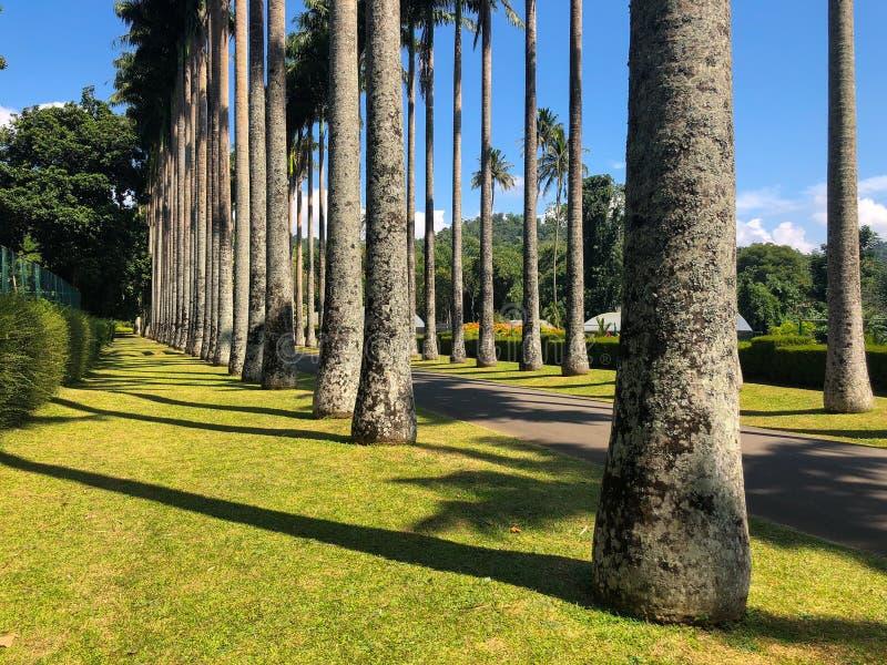 beco de palmeiras em Royal Botanic King Gardens, Kandy, Sri Lanka fotos de stock