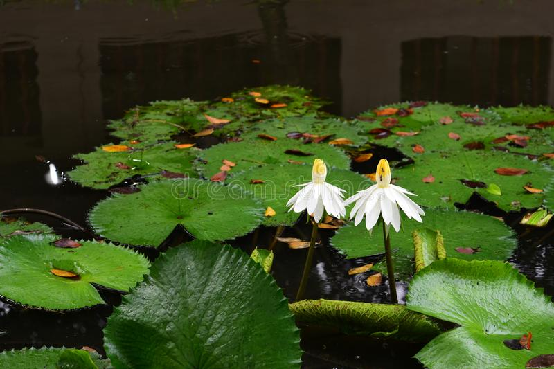 White Aquatic Flower and Plant - A Life Partner. White Aquatic flower and plant, the couple of flowers that symbolize for life partner in the life stock photo