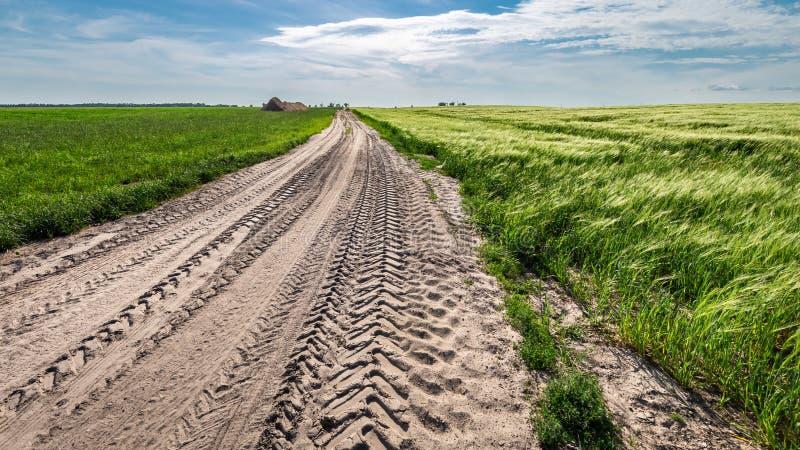 Bedöva öron av korn på grönt fält i sommar arkivbilder