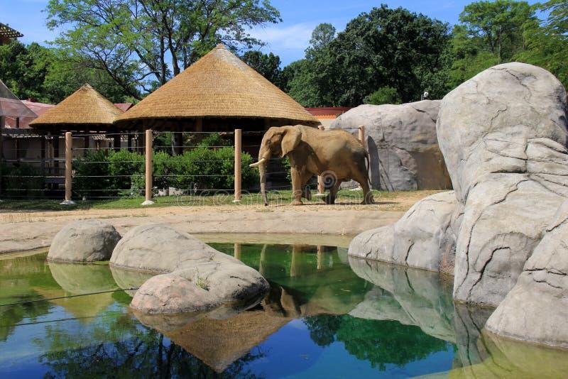 Bedöva bild av den stora elefanten i naturlig livsmiljö, Cleveland Zoo, Ohio, 2016 royaltyfri foto