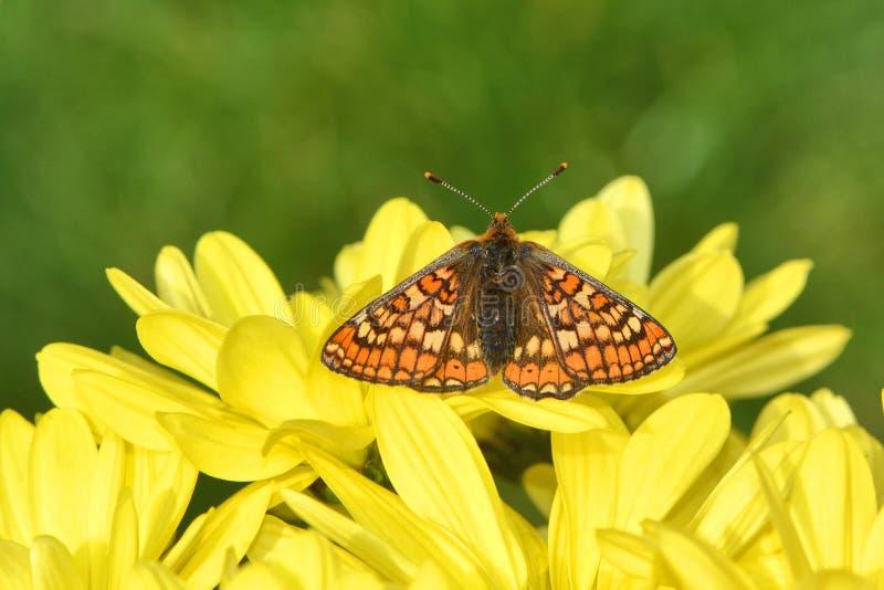 Bedöva butterly, träskfritillary på gul krysantemum royaltyfri bild