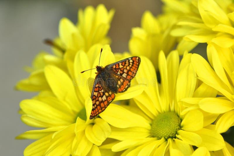 Bedöva butterly, träskfritillary på gul krysantemum royaltyfria bilder