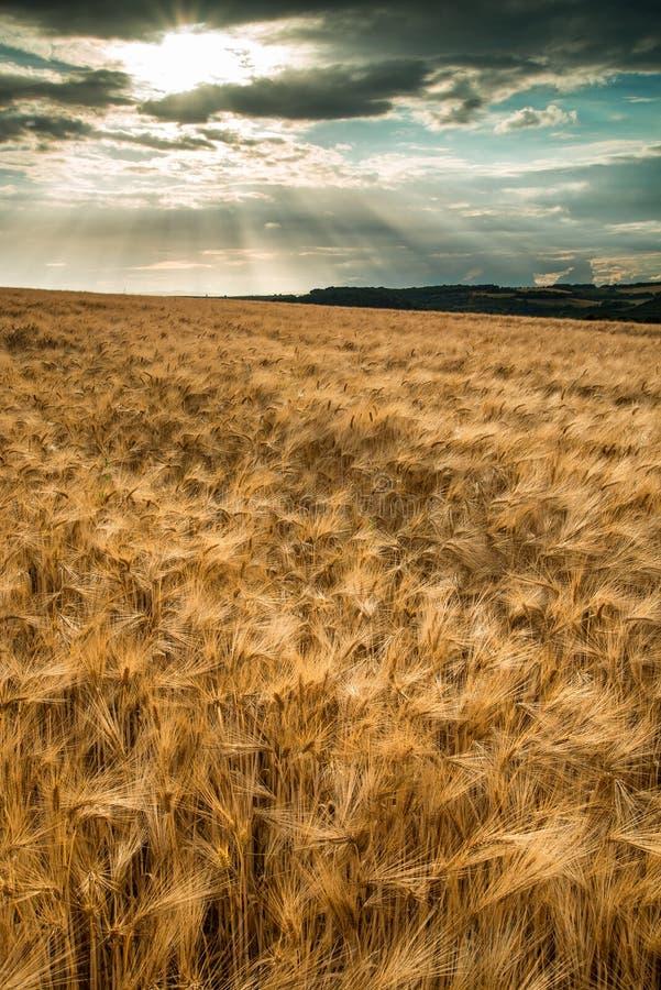 Bedöva bygd landskap vetefältet i sommarsolnedgång arkivbild
