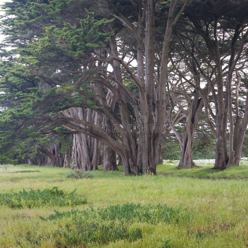 Bedöva cypressgränden på punkt Reyes National Seashore, Kalifornien, Förenta staterna Sagaträd i den härliga dagen arkivfoto