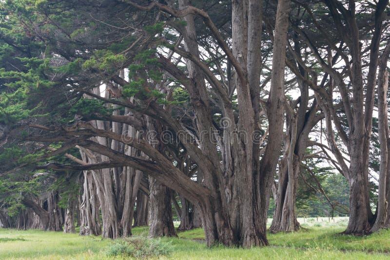 Bedöva cypressgränden på punkt Reyes National Seashore, Kalifornien, Förenta staterna Sagaträd i den härliga dagen fotografering för bildbyråer