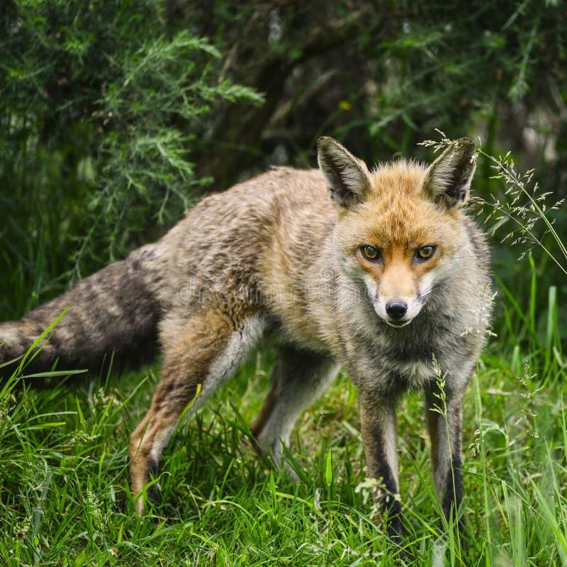 Bedöva den manliga räven i långt frodigt grönt gräs av sommarfältet royaltyfri fotografi