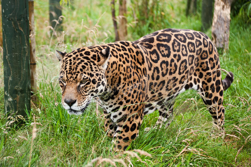 Bedöva jaguarPantheraOnca stryka omkring royaltyfri foto