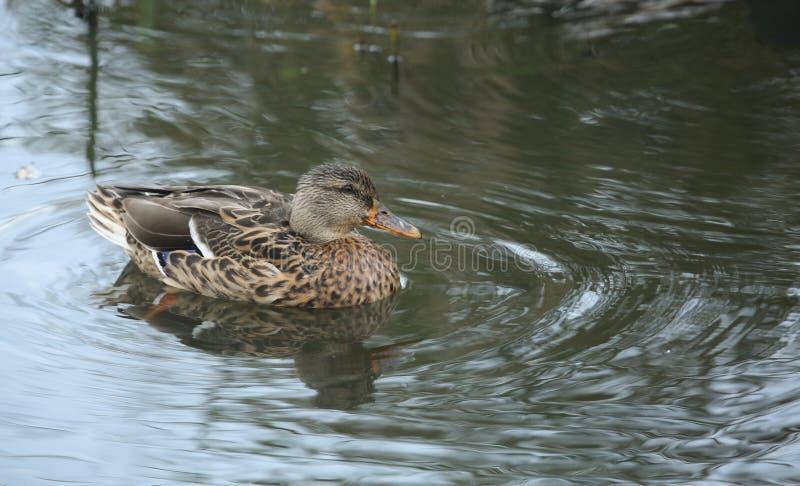 Bedöva kvinnliga en gräsandDuck Anas platyrhynchos som simmar i en sjö royaltyfria bilder