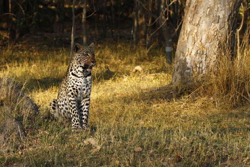 Bedöva lös leopardvarning i stäpp för buske för Botwana ` s arkivbild