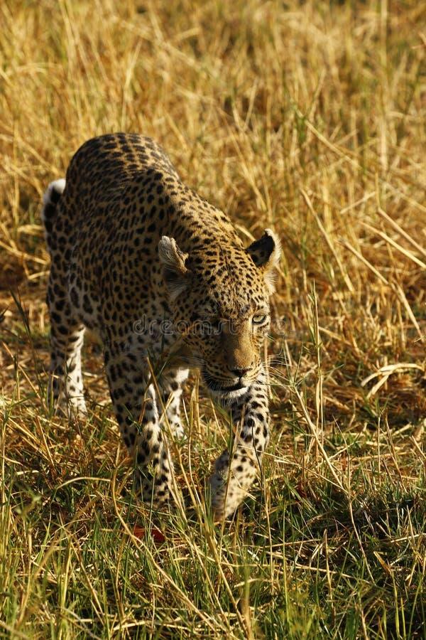 Bedöva lös leopardvarning i stäpp för buske för Botwana ` s royaltyfri bild