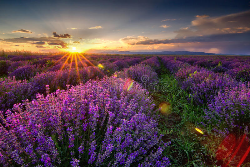 Bedöva landskap med lavendelfältet på solnedgången arkivfoton