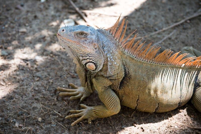 Bedöva naturen av Honduras Tropisk reptil Ödlaleguan i djurliv Stor ödla på Roatan Honduras L?st djur in royaltyfri foto