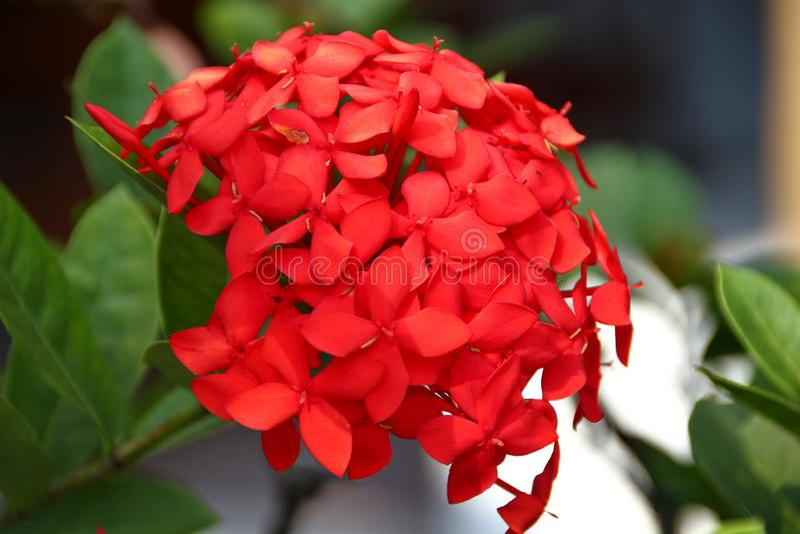 Bedöva röda vanlig hortensiablommor royaltyfri bild