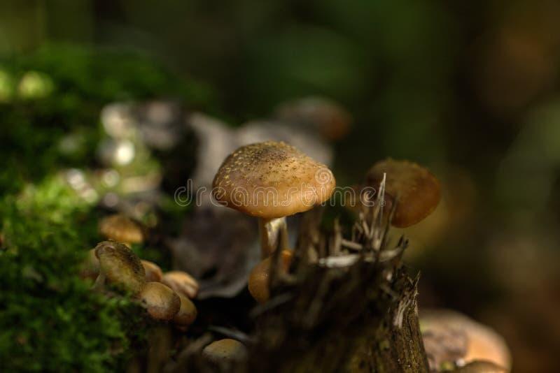 bedłek dzień jadalni grzyby miodowi las odizolowywający pieczarkowy biel obraz stock