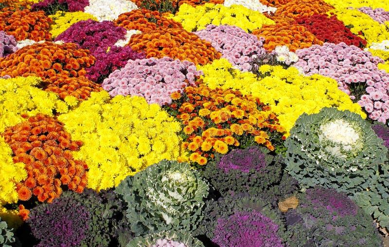Bed of Chrysanthemums and Kale. Colorful display of seasonal vegetation stock photos