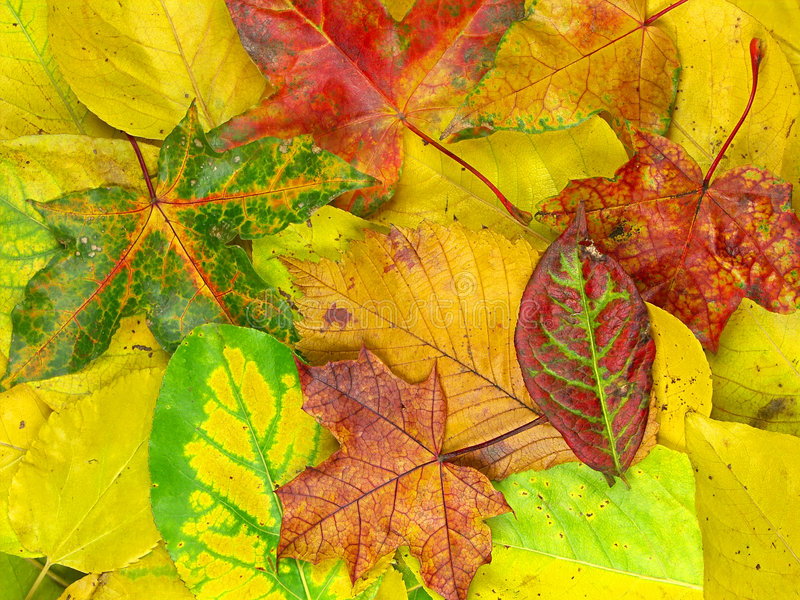 Bed of colorful autumn leaves royalty free stock photo