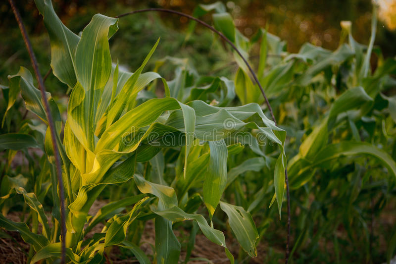 Bed with corn stock photos