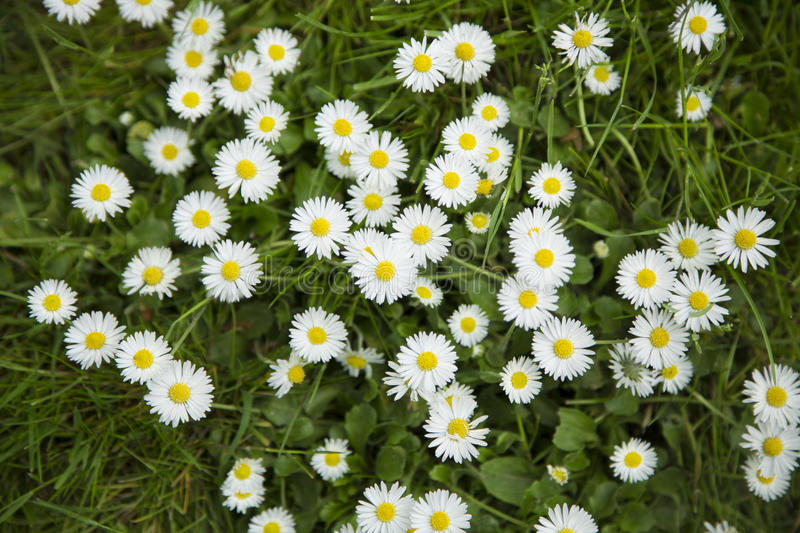 A bed of daisies from above stock image