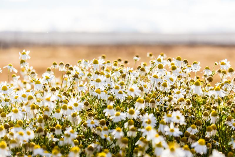 Bed of daisies on golden sunlight during sunset at Laguna Nimez. Bed of daisies on golden sunlight during sunset. El calafate, Argentina stock photo