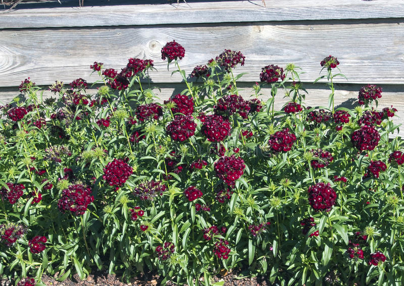 Bed of Dianthus Sweet Black Cherry royalty free stock image