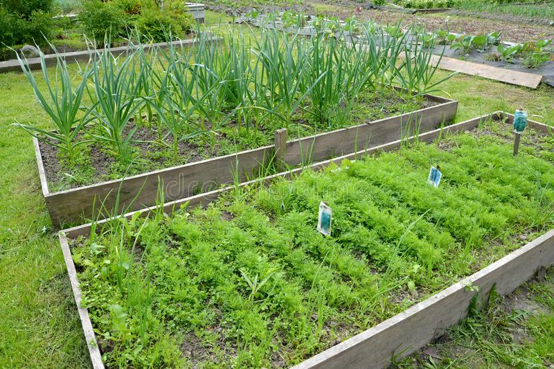 Bed with fennel and garlic on the seasonal dacha.  stock image