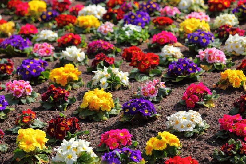 Colorful flowerbed of Primula vulgaris royalty free stock image