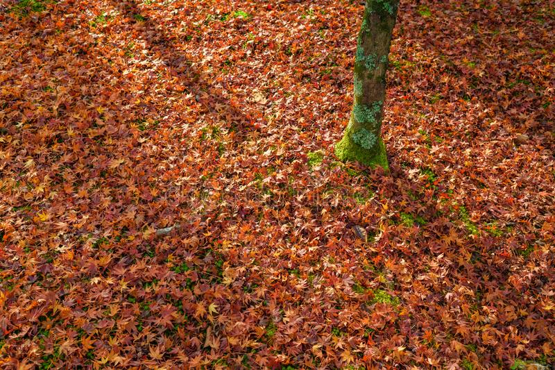 Bed of red autumn leaves, Kyoto, Japan stock images