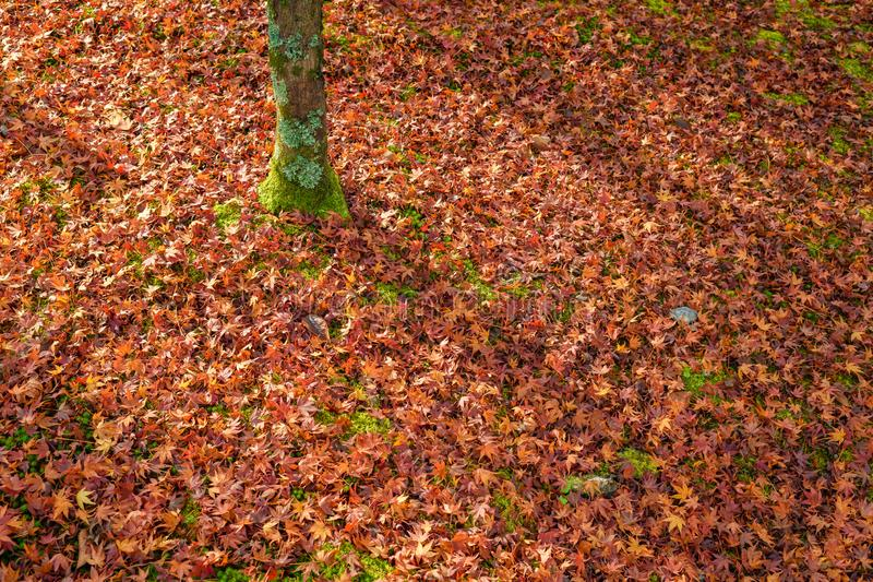 Bed of red autumn leaves, Kyoto, Japan royalty free stock photo
