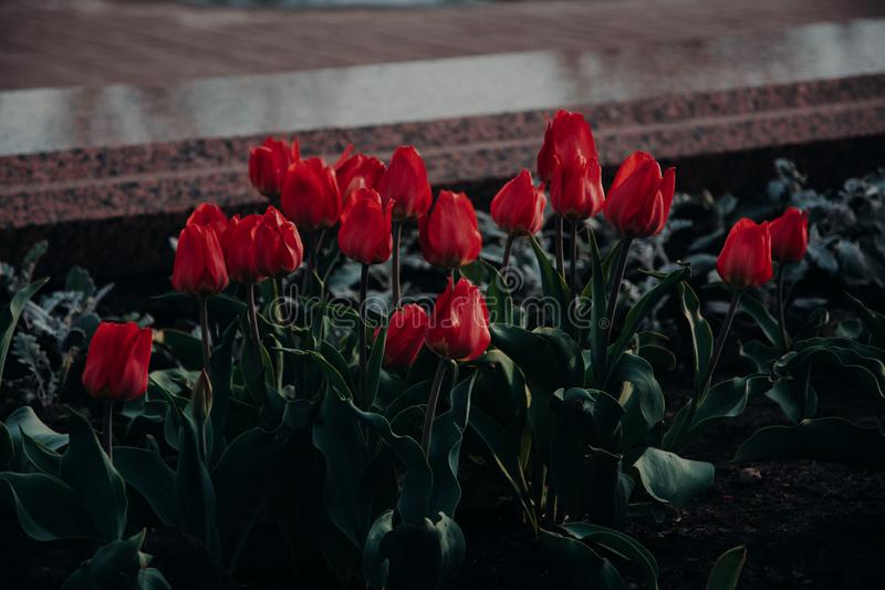 Bed Of Red Tulip Flowers stock photo