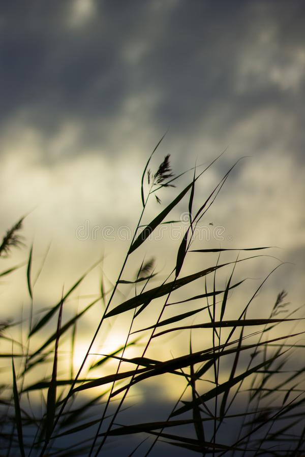 Bed of reeds royalty free stock photo