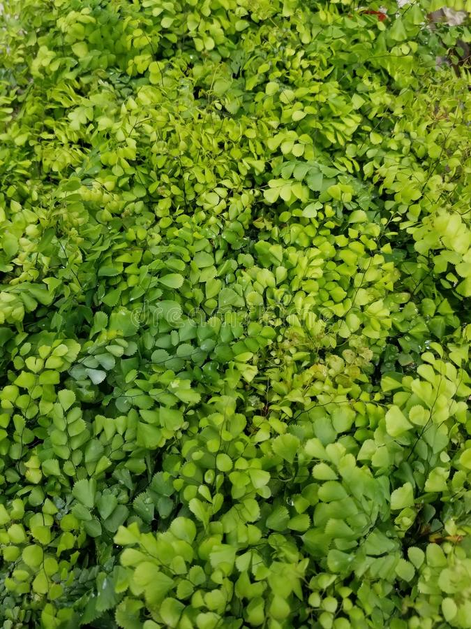 Tiny green ferns. Bed of tiny green ferns royalty free stock image