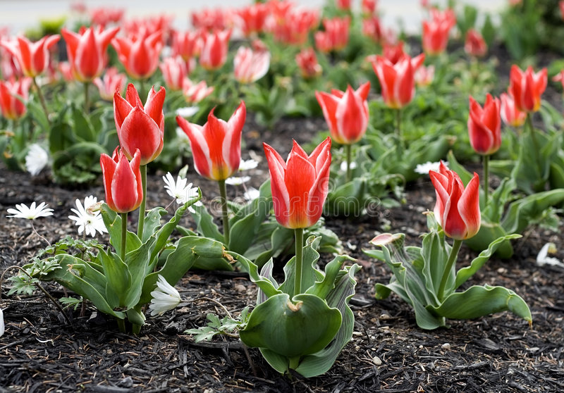 Bed of tulips stock image