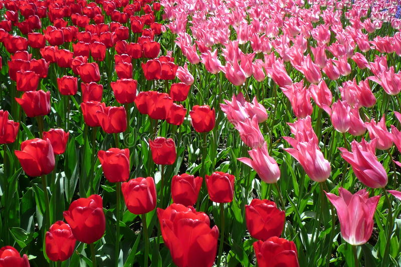 Bed of Tulips royalty free stock photography