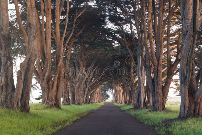 Bed?va tunnelen f?r cypresstr?d p? punkt Reyes National Seashore, Kalifornien, F?renta staterna Sagaträd i den härliga dagen royaltyfri foto