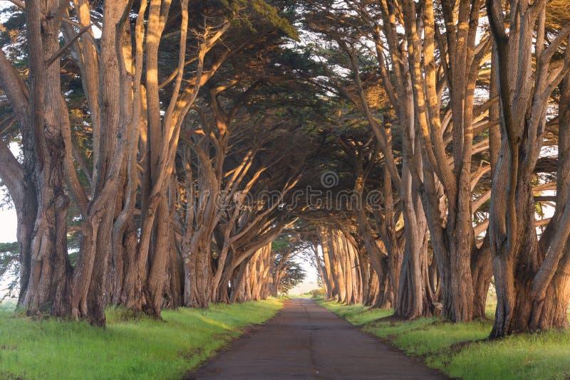 Bed?va tunnelen f?r cypresstr?d p? punkt Reyes National Seashore, Kalifornien, F?renta staterna Sagaträd i den härliga dagen royaltyfria foton