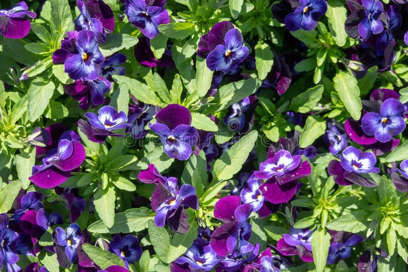 A bed with violet pansies in full bloom, pattern, scientific name Viola cornuta. A bed with violet pansies in full bloom, scientific name Viola cornuta royalty free stock photos