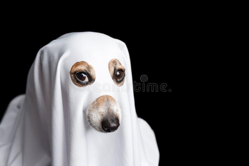 Bedachte Starren des Halloween-Hundegeistes Schwarzer Hintergrund stockbild
