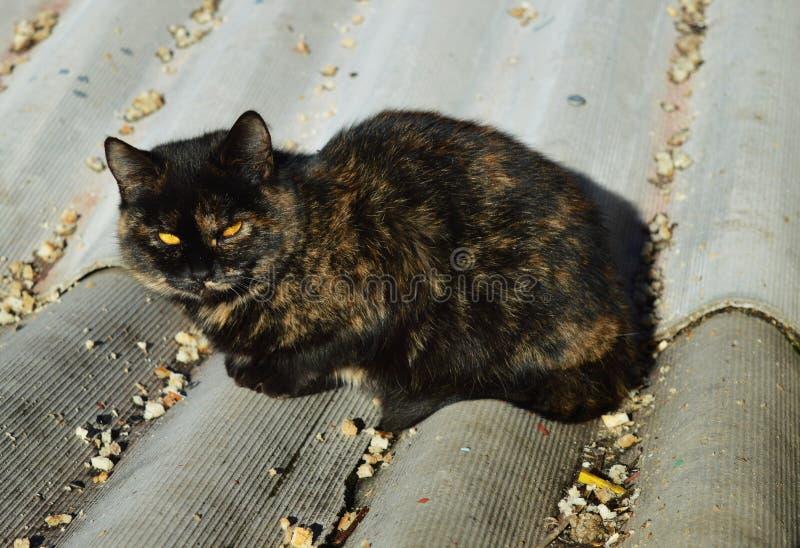 Bedachte Starren Sch?ne Katze Katze auf dem Dach Katze mit gelben Augen stockfotografie