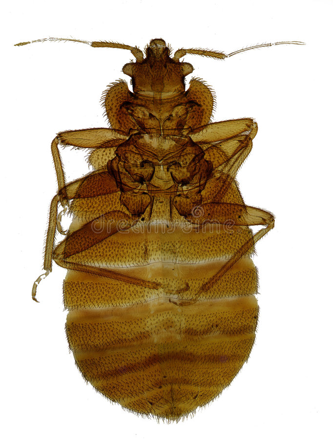 Bedbug στοκ εικόνες
