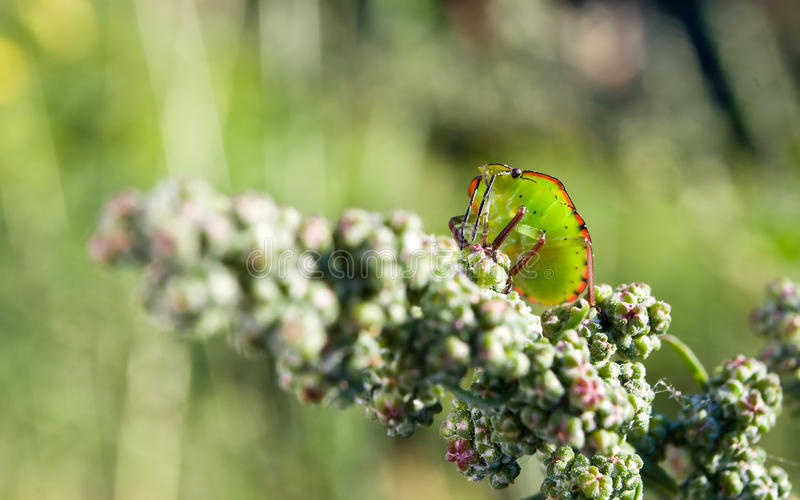 Download Bedbug on the vegetation stock photo. Image of animal - 20704742