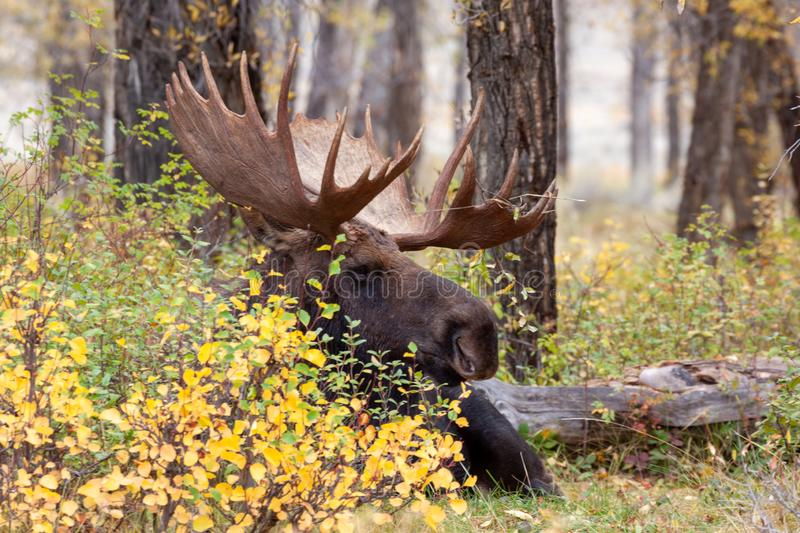 Bedded Bull Moose in Autumn royalty free stock photos