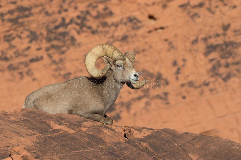 Bedded Desert Bighorn Sheep Ram royalty free stock image